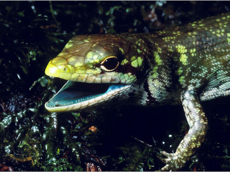 The prehensile tailed skink from the highlands of New Papua New Guinea has green blood due to high concentrations of the green bile pigment biliverdin. The green bile pigment in the blood overwhelms the intense crimson color of red blood cells resulting i