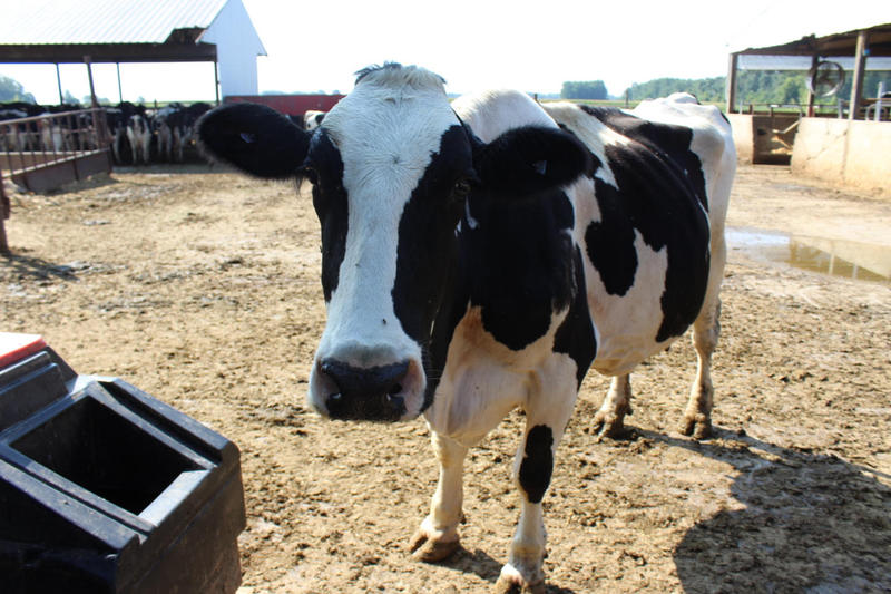 A dairy cow in LaPorte County. (FILE PHOTO: Annie Ropeik/IPB News)