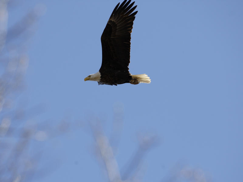 A bald eagle flies over its nest in Middle River, Md., in 2009.