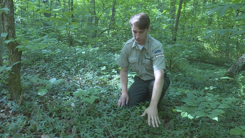 Wyatt Willliams, interpretive naturalist at Spring Mill State Park, kneels down in a patch of invasive periwinkle. He says it was planted there as a ground cover. (Rebecca Thiele/IPB News)
