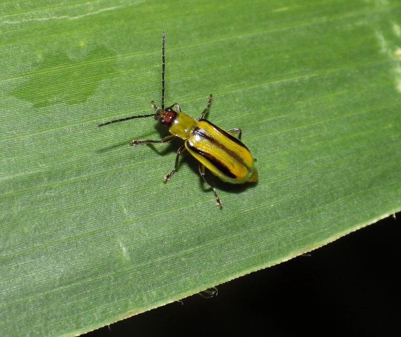 Western corn rootworm — a common pest for Indiana farmers (Sarah Zukoff/Flickr)