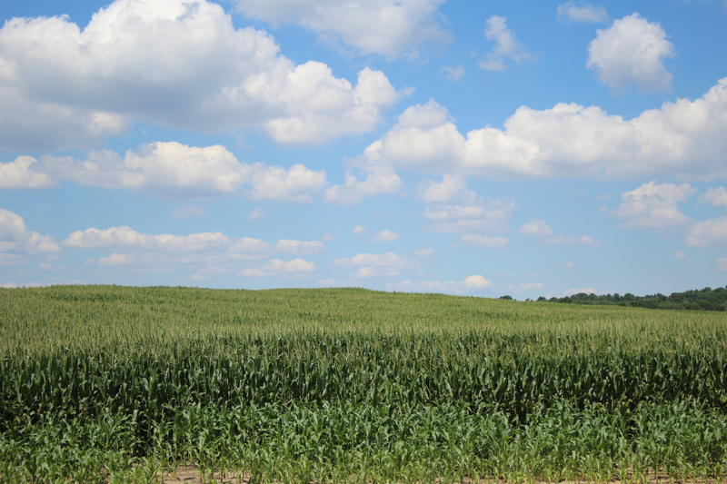 Corn field In Elkhart County, Indiana. (Samantha Horton/IPB News)
