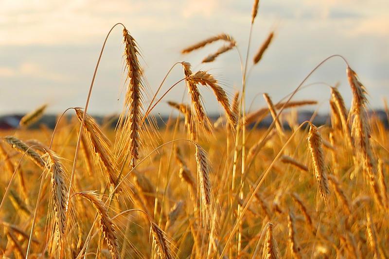 Rye field (Neurovelho/Wikimedia Commons)