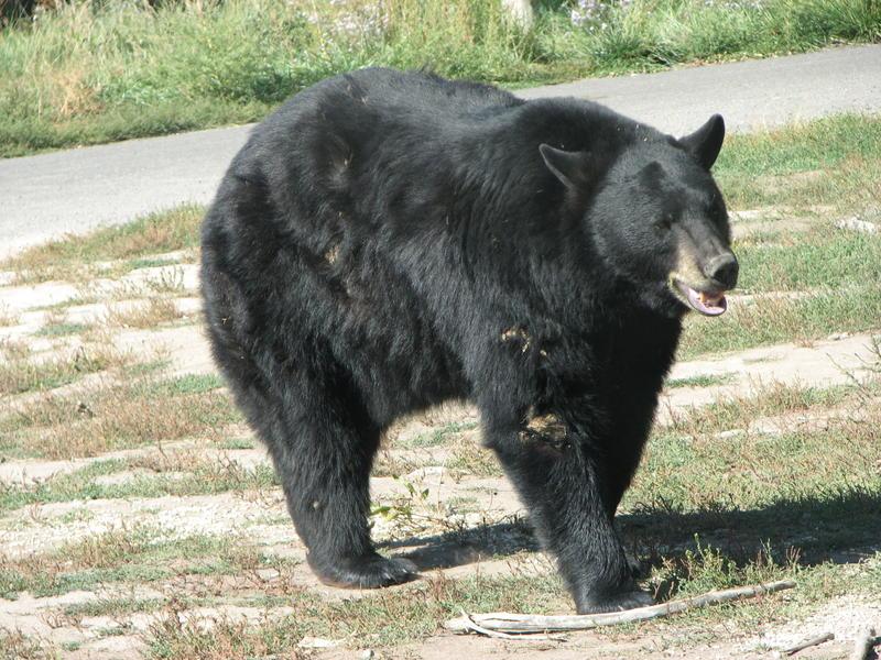 A black bear in Yellowstone Bear World wildlife park in Idaho, 2007 (David Bařina/Wikimedia Commons)