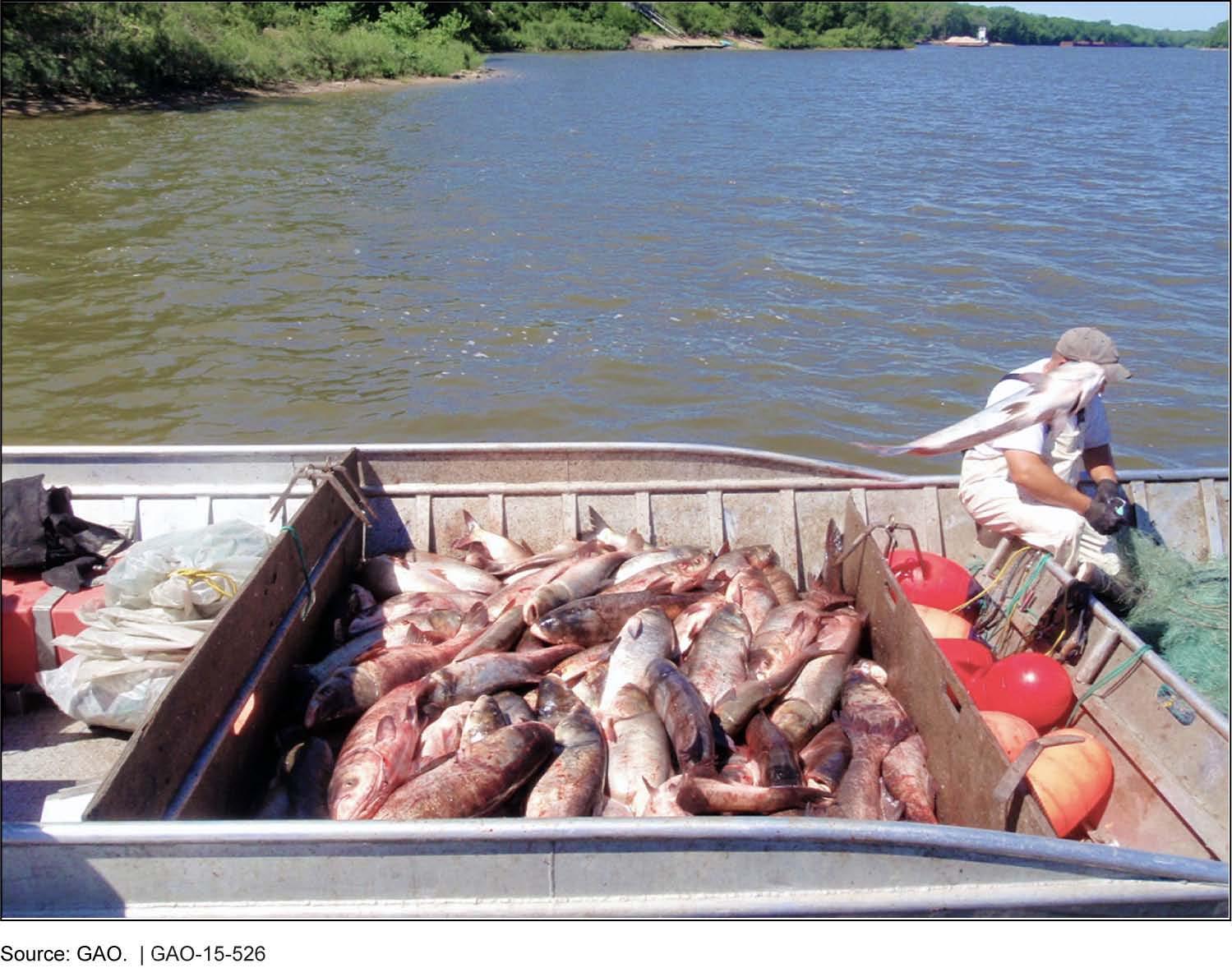 Asian carp illinois river 2018