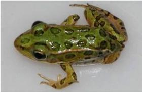 A study that has been 10 years in the making was released this week, shows encouraging results for frogs and toads on national wildlife refuges.