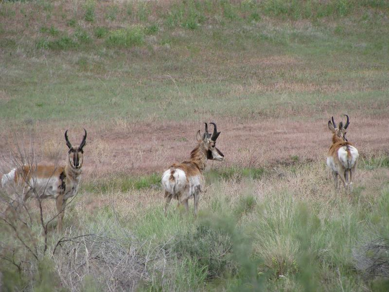 Even the fastest animal in North America is no match for motorists. Pronghorn antelope often fall victim to traffic accidents.