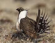 sage grouse endangered species utah