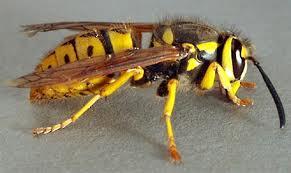 bugs yellow jacket