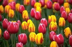 Tulips gardening