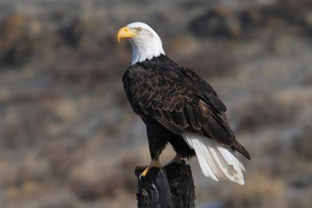 Five eagles from across northern Utah have died from a mystery illness.