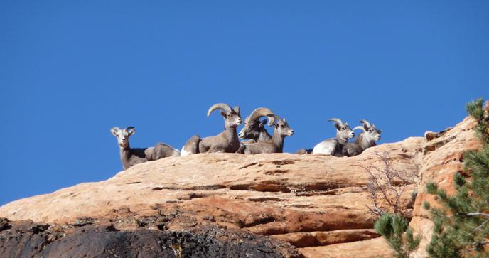 Bighorn sheep rest on a rock ridge.