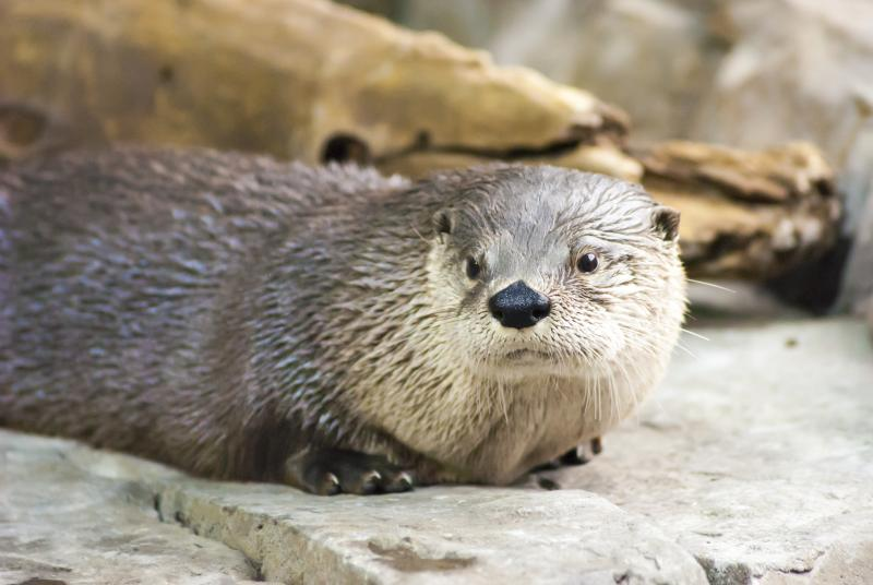 The Utah otter exhibit at the Loveland Living Planet Aquarium.
