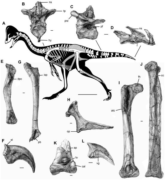 Bones of Anzu wyliei