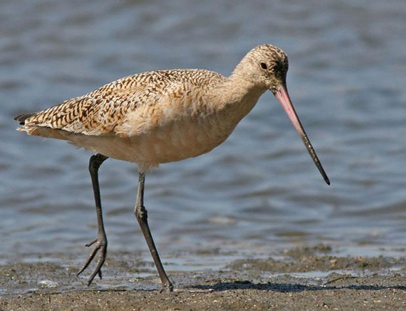 A Marbled Godwit stands in water.