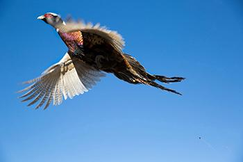 Pheasant flies