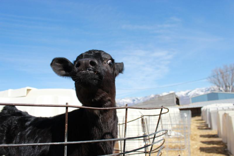 Calves are kept in small, individual barns until they no longer drink milk.