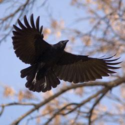 crow flying
