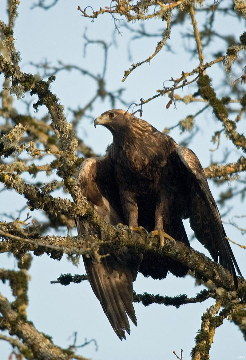 Golden eagle sits in tree.