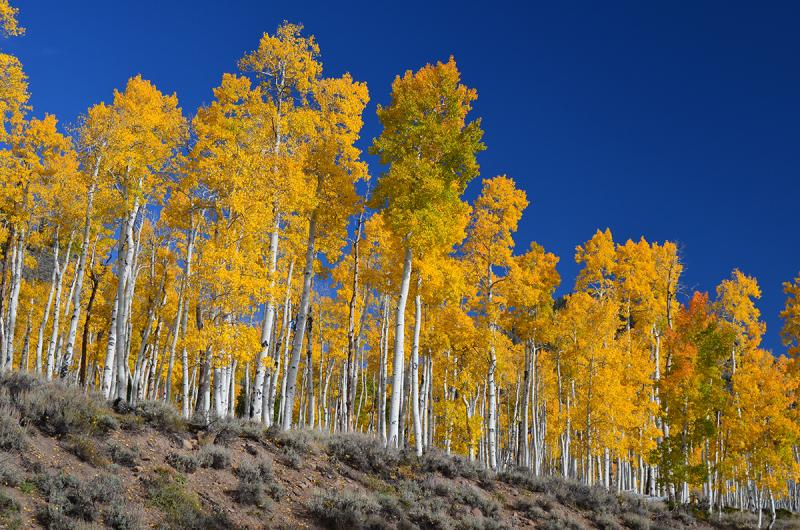 Aspen trees on a hillside