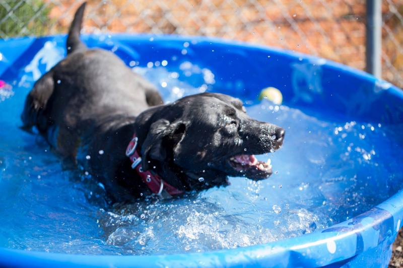 Dog plays in pool
