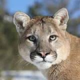 Face of a mountain lion.