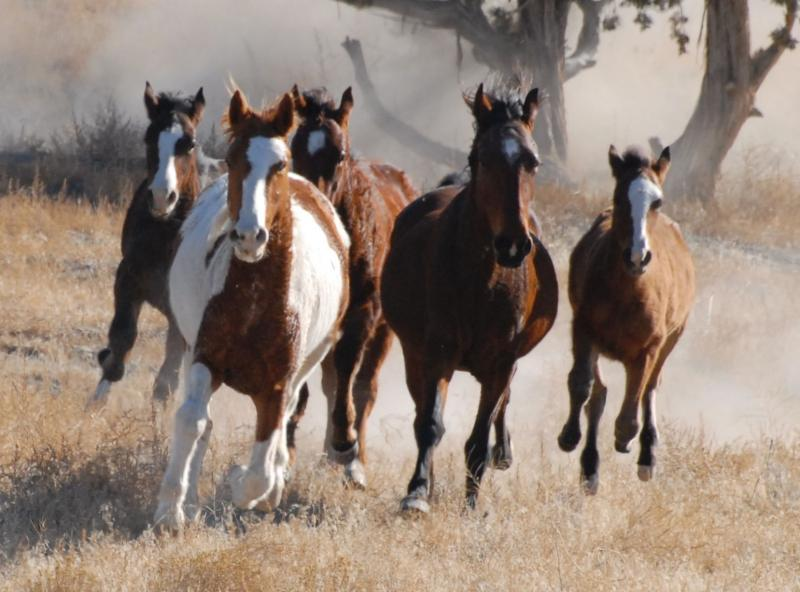 Preservationists in Wyoming claim the BLM's scheduled roundup of wild horses is illegal.