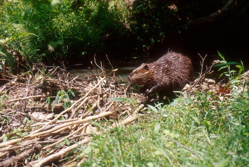 Beaver in natural habitat.