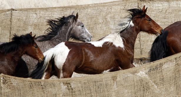 Wild horses running.