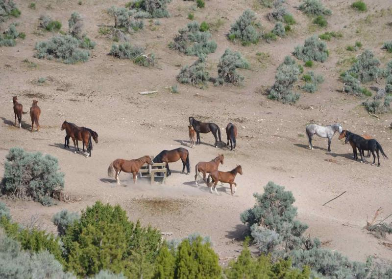Wild horse roundup aerial view blm.gov