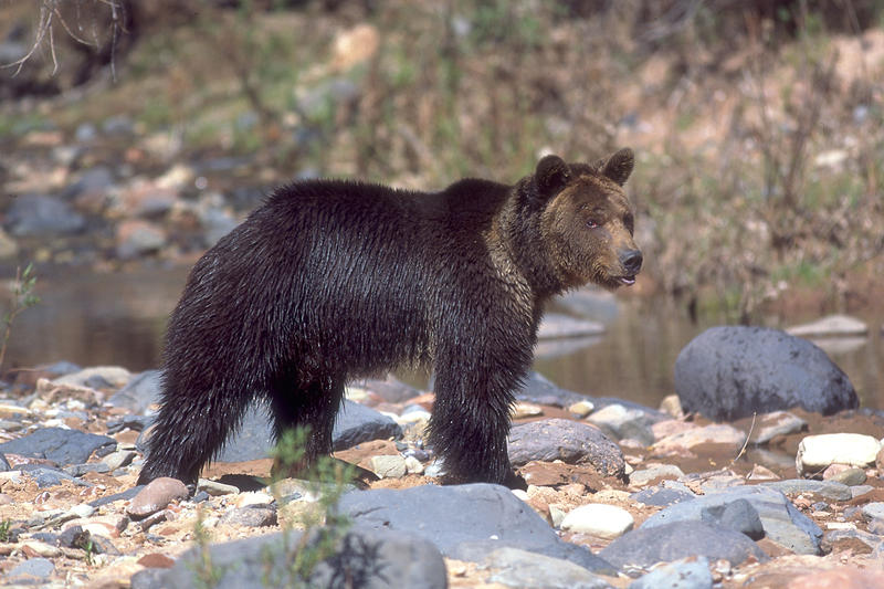 The DWR estimates that there are 4,100 black bears in Utah.