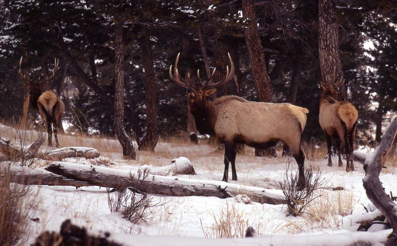 Bull elk in snow.