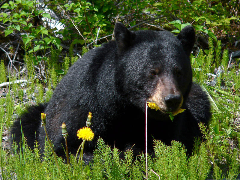 Black bear munching on dandelions.