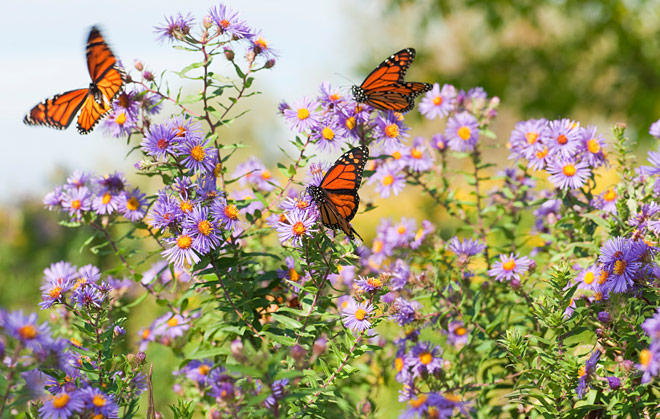 Monarchs on Flowers