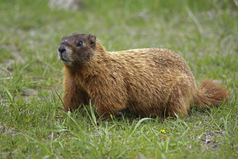 Picture of Woodchuck