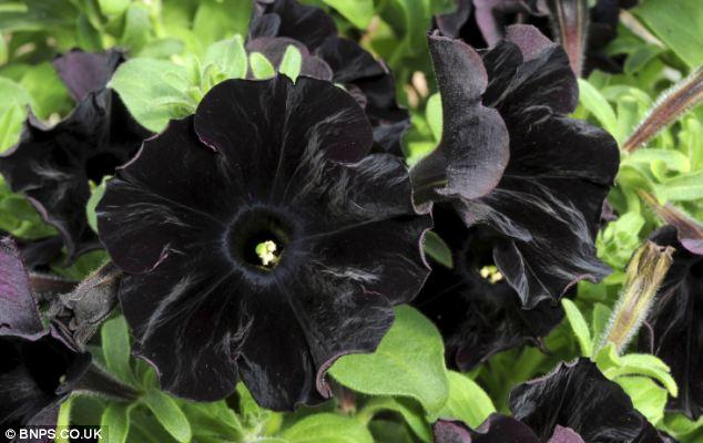 Photo of Black Petunias