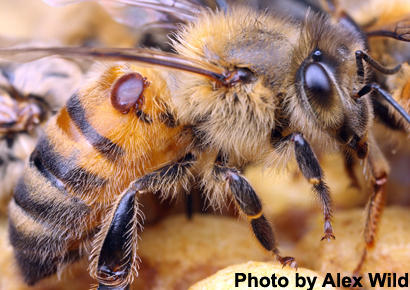 Varroa Mite on Honey Bee