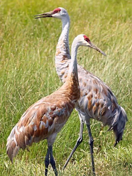 Photo of Two Sandhill Cranes