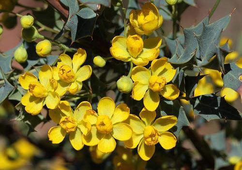 Image of Desert Holly/Mohonia Fremontii