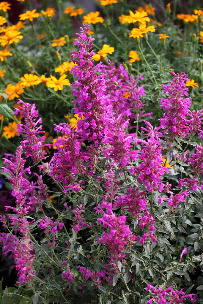 Photo of Agastache