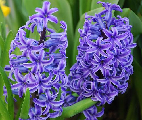 Image of lavendar hyacinths