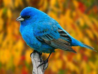 Photo of Indigo Bunting
