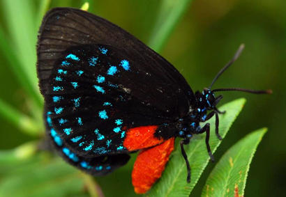 Photo of Atala Butterfly