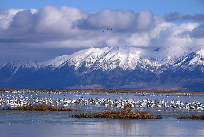 Swans at the Bear River Migratory Refuge