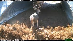 Wildlife Camera Captures Deer Using Wildlife Crossing Structure