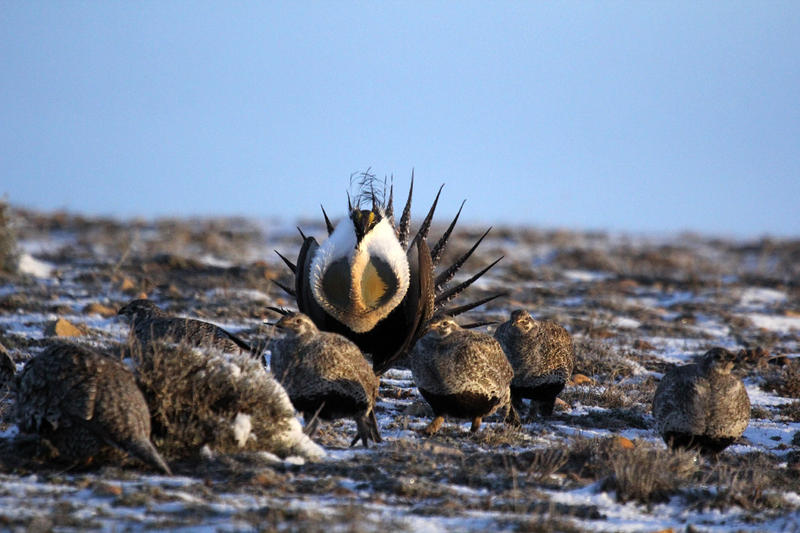 Dominate Male Sage-Grouse with Females