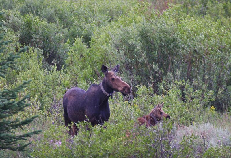 This radio collared cow and her calf were found by Currant Creek Reservoir on the Wasatch unit using telemetry. In late spring the collared cow moose are tracked using telemetry equipment to determine if they have calves. This gives the researches an idea