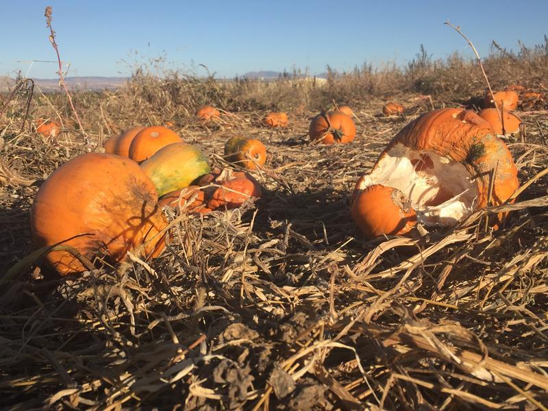 Frozen Pumpkins At Mt. Naomi Farms