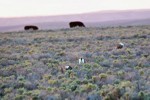 The sage grouse conservation plan helps protect more than 350 species.