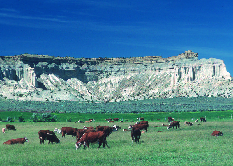 Cattle graze in a pasture in central Utah.